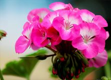 Close-up Photo of Blooming Pink Petaled Flowers royalty free stock images
