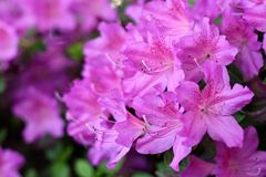 Close up photo of blooming rhododendrons in Stanley Park Royalty Free Stock Images