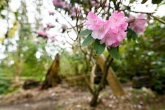 Close up photo of blooming rhododendrons in Stanley Park Royalty Free Stock Photos