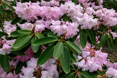 Close up photo of blooming rhododendrons in Stanley Park Stock Image
