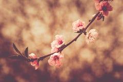 Close up photo of blossom cherry sakura tree Stock Image