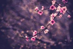 Close up photo of blossom cherry sakura tree Stock Photos