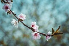 Close up photo of blossom cherry sakura tree Royalty Free Stock Image