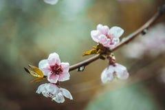 Close up photo of blossom cherry sakura tree Royalty Free Stock Images