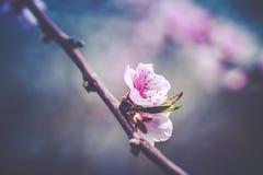 Close up photo of blossom cherry sakura tree Royalty Free Stock Photos