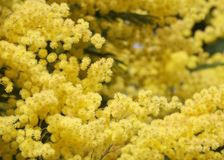 Close up photo of blooming mimosa tree. Close up photo of a blossoming mimosa tree in springtime on a sunny day royalty free stock photography