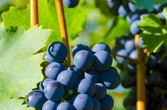 Close-up photo of a blue grape vine in a vineyard between green. Leaves in autumn Stock Image