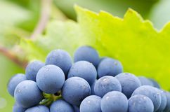 Close-up photo of a blue grape vine in a vineyard between green Stock Images