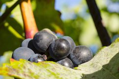 Close-up photo of a blue grape vine in a vineyard between green. Leaves in autumn sunny day Stock Photography