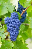 Close-up photo of a blue grape vine in a vineyard between green Royalty Free Stock Images