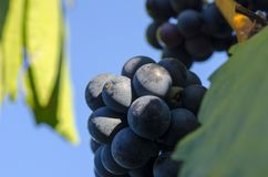 Close-up photo of a blue grape vine in a vineyard between green. Leaves in autumn Royalty Free Stock Photography