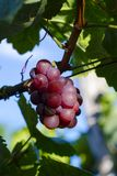 Close-up photo of a blue grape vine in a vineyard between green. Leaves in autumn sunny day Royalty Free Stock Image