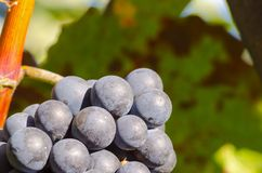 Close-up photo of a blue grape vine in a vineyard between green. Leaves in autumn sunny day Stock Photos