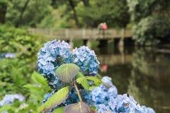 Blue Hydrangea in full bloom. royalty free stock photo
