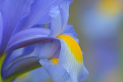 Close up photo of a blue iris flower royalty free stock photography