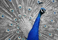 Close Up Photo of Blue Peacock Stock Image