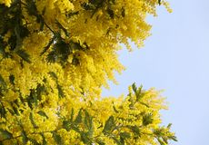 Close up photo of branches blooming mimosa tree. Close up photo of a  branches blooming mimosa tree in springtime on a sunny day royalty free stock photos