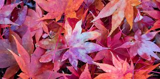 Close up photo of bright red japanese maple leaves in a pile on the ground. A pile of vibrant red Japanese Maple leaves scattered on the ground in autumn royalty free stock images