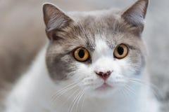 Close-up of a cat looking towards camera. Close-up photo of British short hair cat looking towards camera stock images