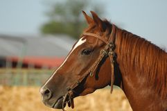 Close Up Photo of a Brown Horse Stock Photography