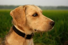 Close Up Photo Brown Short Coated Dog Near Green Field during Daytime Royalty Free Stock Image