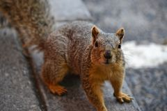 Close Up Photo of Brown Squirrel Stock Photos