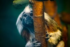 Close-up Photo of Brown, White, and Black Monkey Royalty Free Stock Photography