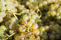 Close up photo of bunch of grapes, sweet juicy fruit Stock Image