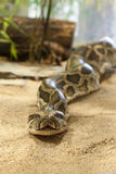 Close-up photo of burmese python Stock Photo