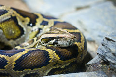 Close-up photo of burmese python Stock Images