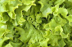 Close up photo of a Butter Lettuce Stock Image