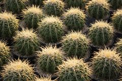Close up photo of cactus with sharp prickly. As nature pattern form royalty free stock image