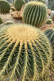 Close up photo of cactus. Cactus top background macro view close up stock photos