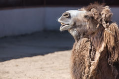 Close up photo of camel head with teeth in the zoo.  Stock Image
