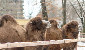 Close up photo of camel head Royalty Free Stock Images