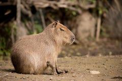 Close up photo of Capybara Royalty Free Stock Image