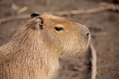 Close up photo of Capybara Stock Image