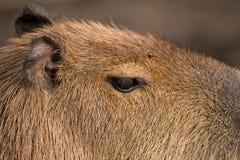 Close up photo of Capybara Royalty Free Stock Images
