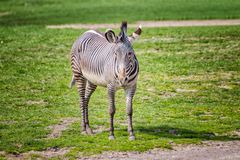 Close up photo of Chapman's zebra standing on green grass, equus quagga chapmani. It is natural background or wallpaper with. Wildlife animal. There is royalty free stock photo