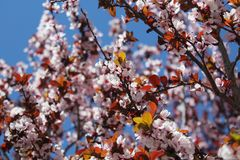 Close-up Photo of Cherry Blossoms stock photography