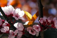 Close-up Photo of Cherry Blossoms stock photos