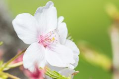 Close-up photo of the cherry blossoms Royalty Free Stock Photography