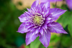 Close up photo of clematis purple flower.  Royalty Free Stock Photos