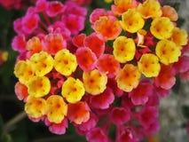 Lantana hybrid. Close up photo of colorful flower with small,yellow,orange and pink thrumpets|lantana hybrid royalty free stock image