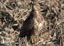 Close up photo of common buzzard Stock Photo