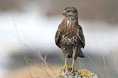 Close up photo of common buzzard Stock Image