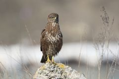 Close up photo of common buzzard Stock Photography