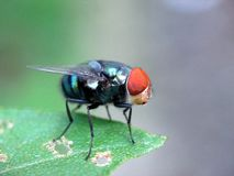 bluish ordinary fly on a green leaf stock photos