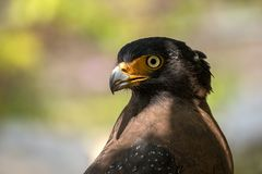 Close up photo of crested serpent eagle. Crested serpent eagle looking for snake, frog and another reptile as his prey royalty free stock photography