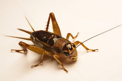 Close-up photo of the cricket gesture on the background.  Stock Photo
